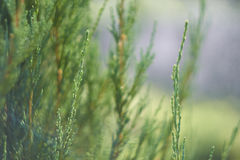 Bush of thuja Stock Images