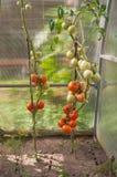 Bush-Tomaten Lizenzfreie Stockfotografie