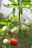 Bush with tomato. Bush with red and green tomato stock photos