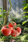 Bush with tomato. Bush with  red,big tomato Stock Image