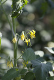 Bush tomato. Bush tomato blossoms in spring yellow Royalty Free Stock Image
