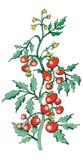 Bush tomato. Tomato Bush on white background royalty free illustration
