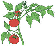 Bush tomatoes. With three mature fruits. Vector illustration Stock Images