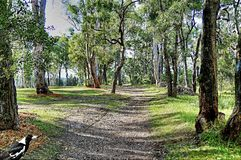 Bush Track - Landscape. NnHill top nature walk amongst Australian Gum trees with delicate sunlight falling on the green grass bordering the leaf strewn dirt Royalty Free Stock Photos