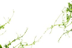 Bush-Traube oder drei-leaved wilder Rebe-cayratia Cayratia-trifolia Lianeefeubetriebsbusch, Naturrahmen-Dschungelgrenze lokalisie lizenzfreie stockbilder