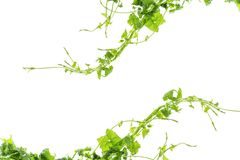 Bush-Traube oder drei-leaved wilder Rebe-cayratia Cayratia-trifolia Lianeefeubetriebsbusch, Naturrahmen-Dschungelgrenze lokalisie lizenzfreies stockfoto