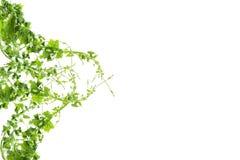 Bush-Traube oder drei-leaved wilder Rebe-cayratia Cayratia-trifolia Lianeefeubetriebsbusch, Naturrahmen-Dschungelgrenze lokalisie stockfoto