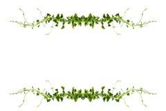 Bush-Traube oder drei-leaved wilder Rebe-cayratia Cayratia-trifolia Lianeefeubetriebsbusch, Naturrahmen-Dschungelgrenze lokalisie stockbilder