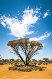 Bush tree Australia Royalty Free Stock Photos