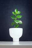 Bush tree ceramic flowerpot.. On black Royalty Free Stock Photos
