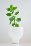 Bush tree ceramic flowerpot.. On white Royalty Free Stock Images