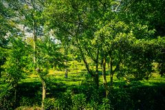 Bush tree with tea plantations and tree on side road in puncak bogor stock photography