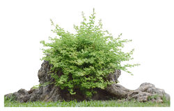 Bush on tree trunk isolated with clipping path. Bush on tree trunk isolated on white background with clipping path Royalty Free Stock Photos