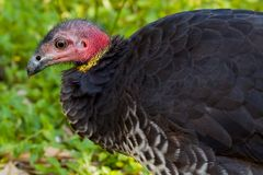 Bush Turkey Close-Up Stock Image