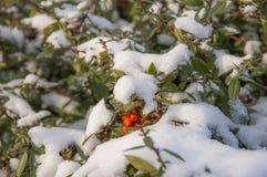 Bush under snow Royalty Free Stock Photography