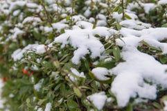 Bush under snow Stock Photos
