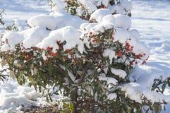 Bush under snow Royalty Free Stock Image