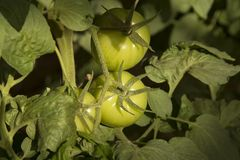 Bush unripe tomatoes. Bush unripe environmentally friendly greenhouse tomatoes Stock Photo