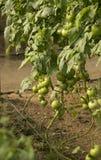 Bush unripe tomatoes. Bush unripe environmentally friendly greenhouse tomatoes Stock Photos