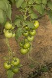 Bush unripe tomatoes. Bush unripe environmentally friendly greenhouse tomatoes Royalty Free Stock Photos