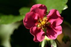 Bush van aardbei met bloem en onrijpe bessen Stock Foto