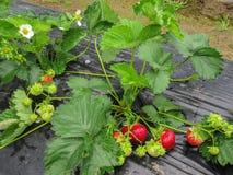 Bush van aardbei met rode en groene bessen Stock Afbeelding