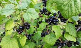 Bush van blackcurrant - zwarte en zoete bessen stock afbeelding