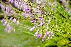 Bush van bloemen Hosta Royalty-vrije Stock Afbeelding