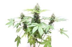 Bush van cannabis Stock Foto