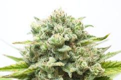 Bush van cannabis Stock Fotografie