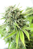 Bush van cannabis Stock Afbeelding