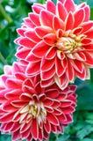 Bush van dahlia's in tuin Royalty-vrije Stock Afbeeldingen