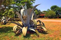 Bush van een blauwe agave royalty-vrije stock fotografie