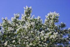 De struik van de jasmijn royalty vrije stock afbeelding afbeelding 16787636 - Bush architectuur ...