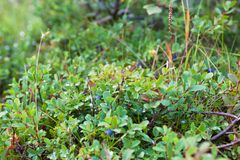 Bush van een rijpe bosbes Stock Afbeeldingen