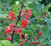 Bush van een rode aalbes Stock Afbeeldingen