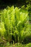 Bush van Fern Growing In Garden royalty-vrije stock fotografie