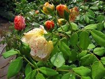 Bush van geel nam met dalingen van water op bloemen toe en verlaat af Royalty-vrije Stock Afbeeldingen