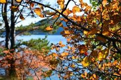 Bush van haagdoorn in de herfst Rijpe bessen Vergeelde bladeren Stock Afbeelding