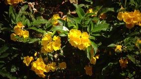 Bush van heldere gele bloemen die van de wind slingeren Sluit omhoog stock videobeelden