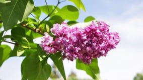 Bush van lilac bloemen stock videobeelden