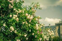 Bush van mooie rozen in een tuin Stock Afbeeldingen