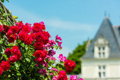 Bush van mooie rozen in een tuin Royalty-vrije Stock Foto's