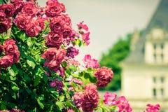 Bush van mooie rozen in een tuin Royalty-vrije Stock Afbeeldingen