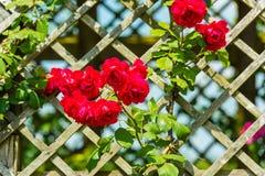 Bush van mooie rozen in een tuin Stock Foto