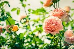 Bush van mooie rozen in een tuin Royalty-vrije Stock Foto
