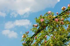 Bush van mooie rozen in een tuin Stock Fotografie