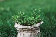 Bush van munt in pot, in een pot op het groene gras thuis wordt gekweekt dat Stock Foto's