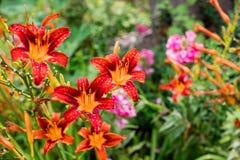 Bush van oranje lelies in een de zomertuin stock fotografie