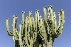 Bush van Pachycereus-cactus op Fuerteventura, Canarische Eilanden, Kuuroord Stock Afbeeldingen